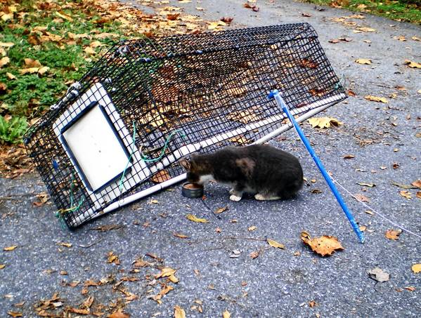 A lightweight drop trap can be used to catch stray cats, which can then be transported for spaying or neutering.