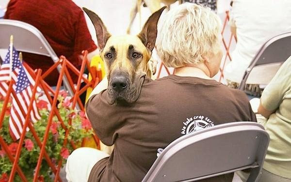 Photo courtesy of Dan Young A Great Dane keeps watch in the crowd at the 2012 Langley Kennel Club Dog Show. This year's event will be May 24-26 at the Hampton Roads Convention Center.
