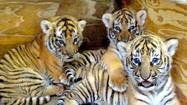 Tiger cubs at Busch Gardens