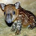 Baird's tapir at Brevard Zoo