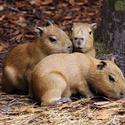Capybaras at the Brevard Zoo