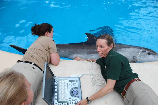 Veterinarian Jennifer Langan takes ultrasound images of bottlenose dolphin Spree's baby, as zookeeper Beth Miller assists.