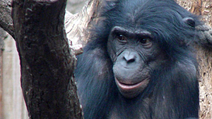 Gambling apes get angry when they lose