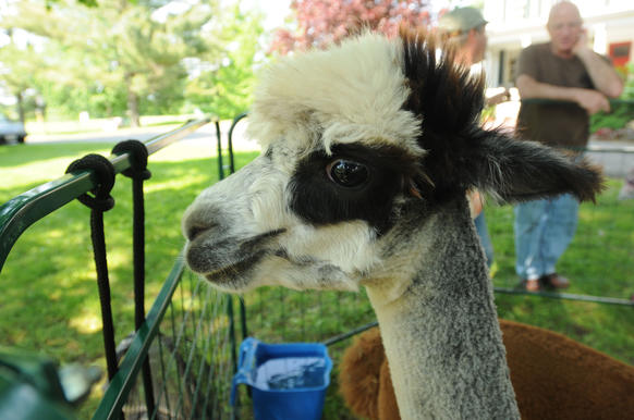 An alpaca from Round Hill Alpacas, Coventry, at the Wethersfield Farmers' Market.