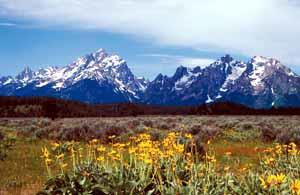 Yellow wild flowers frame the Grand Teton Mountains.