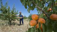 Farmers Markets: It's prime time for apricots