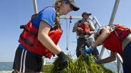 Eelgrass once thrived in Virginia's coastal bays — lush meadows of slender blades undulating just below the surface.