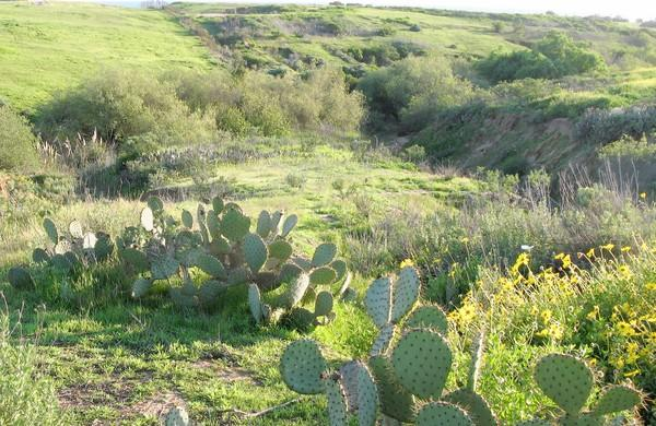 A state park quality habitat in Banning Ranch, yet roads are proposed directly over this arroyo.