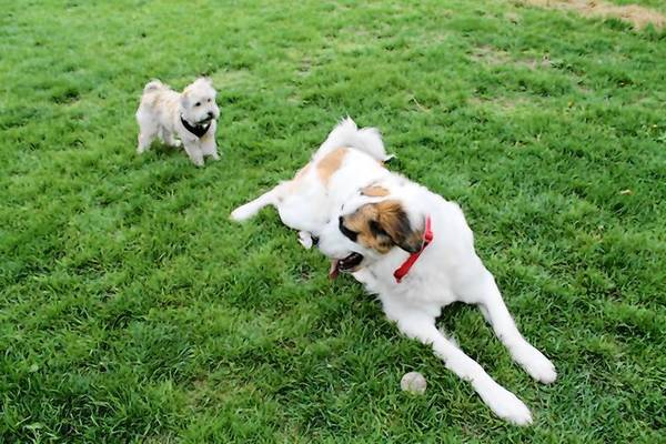 Canine pals hang out in Berwyn's new dog park.