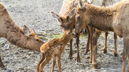 Alaska Wildlife Conservation Center officials say a Rocky Mountain elk calf born there Sunday marks the latest success in a program meant to repopulate parts of the Aleutian Islands with game.