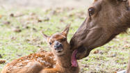 Photo Gallery: Rocky Mountain Elk Calf Born at AWCC Destined for Aleutians