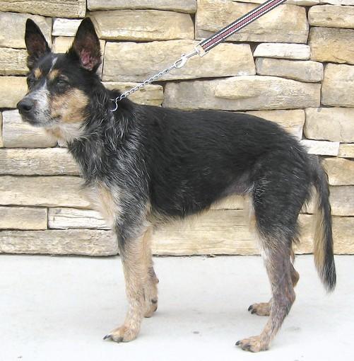 Bella, an Australian cattle dog mix.
