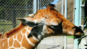 Video: Watch San Francisco Zoo's baby giraffe at 9 days old