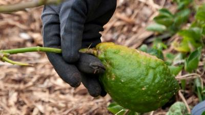 Growing the etrog citron, a tree full of symbolism
