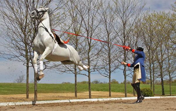 Image result for tempel lipizzan horses