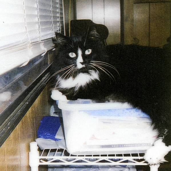 Lacey, a 2-year-old Maine coon mix, is owned by Kathleen, 55, and Darrell Histand, 54, of North Wales.