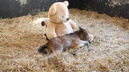 Orphaned foal finds comfort in Teddy Bear