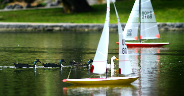 Ducks swim between remote-controlled sailboats Wednesday at Hagerstown City Park lake.