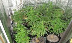 Marijuana plants seized in Palmdale.