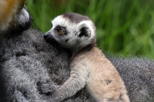 Newborn ring-tailed lemur Rascal is carried by its mother Roxy at Bristol Zoo Gardens on May 22, 2013 in Bristol, England.
