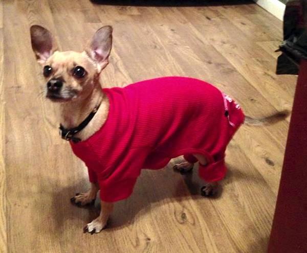 Merv, a chiweenie, enjoys wearing his red pajamas.