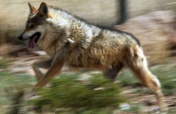 A Mexican gray wolf runs around inside a holding pen at the Sevilleta Wildlife Refuge in New Mexico.