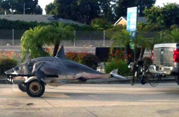The 1,300-pound mako shark caught off the Southern California coast on Monday is shown on the back of a boat trailer being hauled to Gardena for an accurate weight reading.