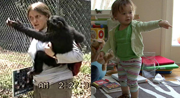 Researchers compared the gestures of a chimp, a bonobo and a human toddler to gain insights into the evolution of language.