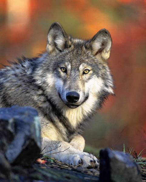 In removing federal protection for gray wolves, the U.S. would leave their management up to individual states.