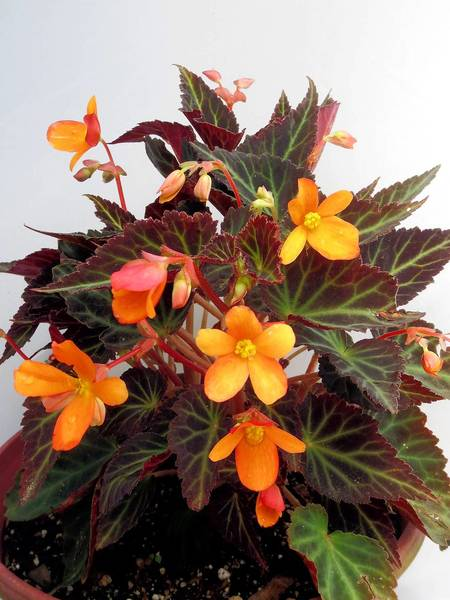 Sparks Will Fly is a mounding begonia with bright tangerine orange flowers and dark green almost bronze leaves. It is a good shade alternative to impatiens.