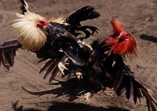 A pair of fighting cocks, trained from birth to fight and kill, flail at each other in a battle to the death at a corral in Compton, in this file image.