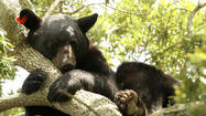 A large black bear lumbered into Orlando on Saturday for a quiet afternoon in a tree, drawing onlookers and raising a lingering question: Is this the same bear that visited Parramore last year?