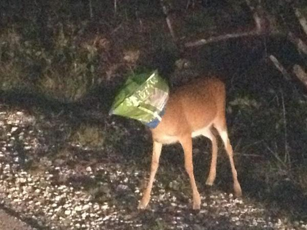 A key deer was found early Sunday morning with a chips bag over its head on No Name Road in Big Pine Key.