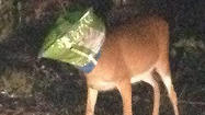 This chip-loving Florida Keys Deer must have thought its chips were down when it managed to get it's head stuck in a bag of Doritos chips.