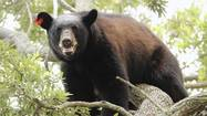 The large black bear that had climbed into a tree near downtown Orlando on Saturday is one of possibly two bears that have been hanging around the Parramore, Citrus Bowl and College Park areas, according to the Florida Fish and Wildlife Conservation Commission.