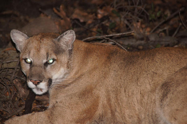 "A National Park Service photograph of P22, a mountain lion that officials determined was ""likely from the Santa Monica Mountains."""