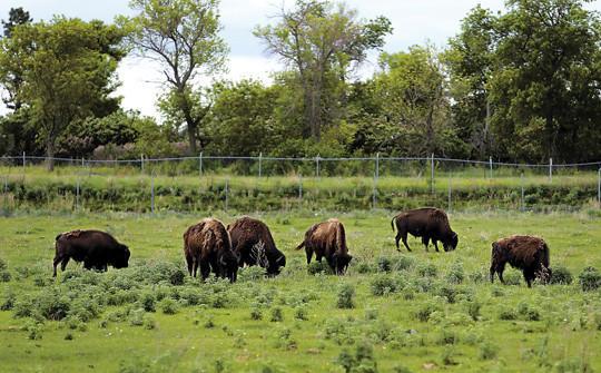 A small herd of buffalo graze in a pasture near the Buffalo Station in Ipswich Thursday. photo by john davis taken 6/6/2013