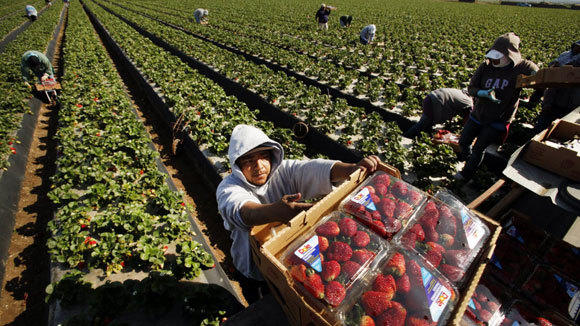 Farm workers pick strawberries for Dole Foods in Santa Maria, Calif.