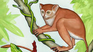 DeKalb, Ill. – An international team of paleontologists that includes Northern Illinois University anthropologist Dan Gebo of Elgin is announcing the discovery of a nearly complete, articulated skeleton of a new tiny, tree-dwelling primate dating back 55 million years.