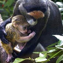 De Brazza's monkeys