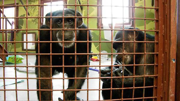 These chimpanzees were once used in studies. Chimps who retire from biomedical research often show signs of depression or PTSD, one study found.