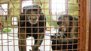 The U.S. Fish and Wildlife Service on Tuesday proposed extending tough new protections for chimpanzees in captivity, a shift that would place strict limits on primates' role as human surrogates in biomedical research.