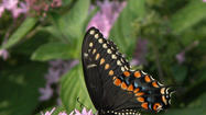 Norfolk Botanical Garden opens its <strong>Butterfly House</strong> Friday, June 14, according to a news release. It will be open for summer visitors until Sept. 21, when there will be a butterfly release the public can attend.