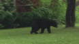 Bear Spotted In Newington