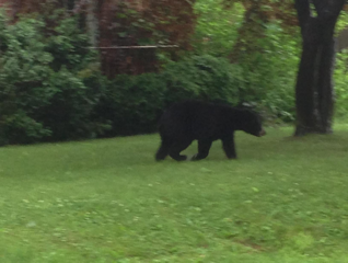 Police tracked a bear through back yards Tuesday afternoon before the animal disappeared into woods near Main Street and Harding Avenue in Newington.