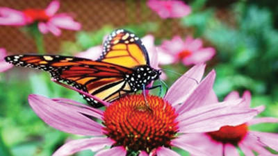 Monarch enthusiasts expect fewer sightings