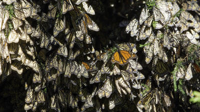 Overwintering monarchs cluster together in the forests of central Mexico.