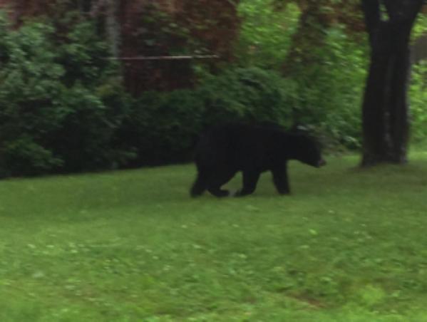 La polica rastre un oso por patios traseros el martes en la tarde antes de que el animal desapareciera entre el bosque cerca de la Calle Main y la Avenida Harding en Newington.