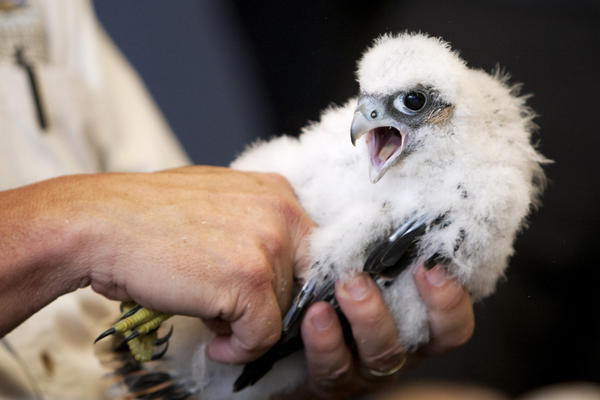 A peregrine falcon chick, most likely a female, loudly voices its displeasure as Department of Natural Resources avian biologist John Castrale shows the chick to a group today in County-City Building in downtown South Bend. The chick was removed from its nest on top of the building to be banded, have blood drawn and flea powder applied before being returned. (South Bend Tribune/JAMES BROSHER)