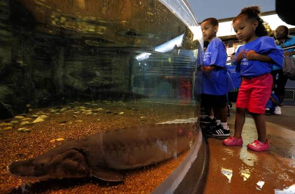 Children watch as a sturgeon swims in the new sturgeon touch experience which is part of the new At Home on the Great Lakes exhibit at the Shedd Aquarium.
